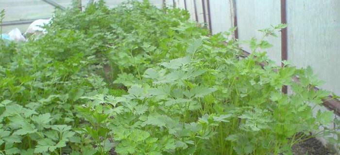 Есть два способа выращивания петрушки: выгонка из корнеплодов, семенами